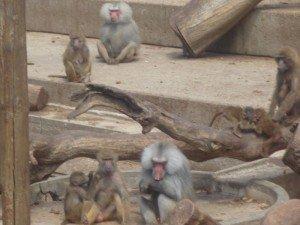 Les singes au zoo de Madrid dans Mes villes singe-001-300x225