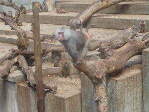 singe-003-300x226 dans Mes villes